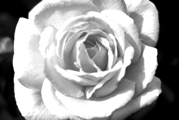 Black and White photography ROSE, artist Gunlach, Young-Art-Gallery